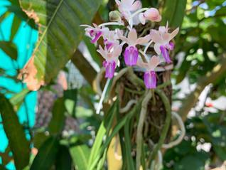 セイデンファデニア ミトラタの育て方(Seidenfadenia mitrata)