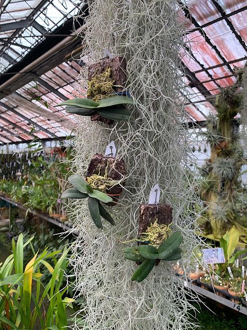 Stereochilus pachyphyllus,洋蘭,洋ラン,洋らん,育て方,種類,販売,通販,熱帯植物,BORDER BREAK,Orchid,マツコ,ボタピー,東京,花屋,ボーダーブレイク,世界らん展,東京ドーム
