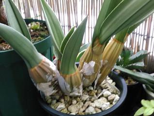 ユーロフィア ペテルシー(Eulophia petersii) の育て方の質問