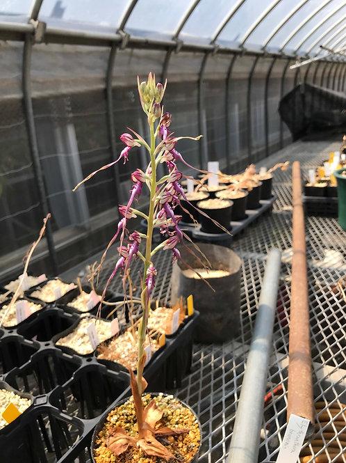 ヒマントグロッサム カプリナム Himantoglossum caprinum