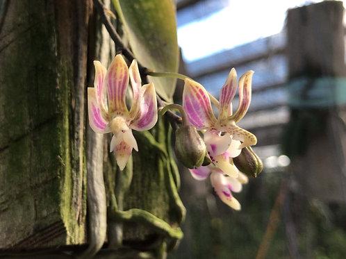 Kingidium minus( Phalaenopsis finleyi ),洋蘭,洋ラン,洋らん,育て方,種類,販売,通販,熱帯植物,BORDER BREAK,Orchid,マツコ,ボタピー,東京,花屋,ボーダーブレイク,NHK,BRUTUS,ブ