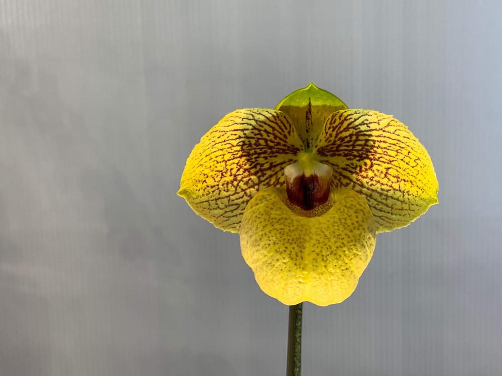 Paphiopedilum Norito Hasegawa `Sexy'