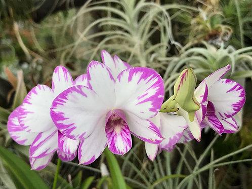 デンドロビューム エンノビ パープル ストライプ Dendrobium Enobi purpul strips