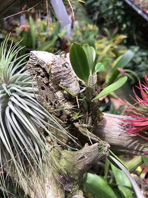 デンドロビューム ジャンキンシー Dendrobium jankinsii コルク着け