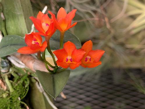 カトレヤ セルヌア Cattleya cernua