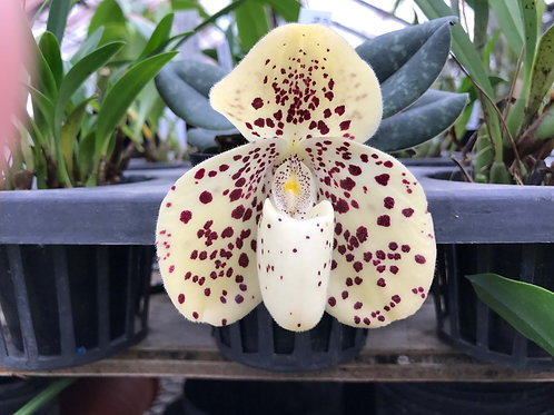Paphiopedilum wenshanense(Amano x Aoispots),洋蘭,洋ラン,洋らん,育て方,種類,販売,通販,花言葉,how to grow,Orchid,yahoo,facebook,amazon,楽天,Youtube,e