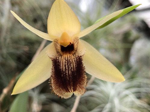 セロジネ オバリス Coelogyne ovalis