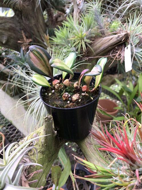 Bulbophyllum'Variegata'斑入り,洋蘭,洋ラン,洋らん,育て方,種類,販売,通販,花言葉,how to grow,Orchid,yahoo,facebook,amazon,楽天,Youtube,ebay,BRUTUS,ブルータス