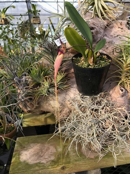 Cirrhopetalum fascination`Cosmo One' CBR/JOGA ,洋蘭,洋ラン,洋らん,育て方,種類,販売,通販,花言葉,シンビジウム,の種類写真,山野草,多肉植物,エアープランツ,植物,動物,生物,Orchid,yaho