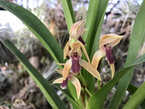 マキシラリア 不明種 518 Maxillaria sp. 518