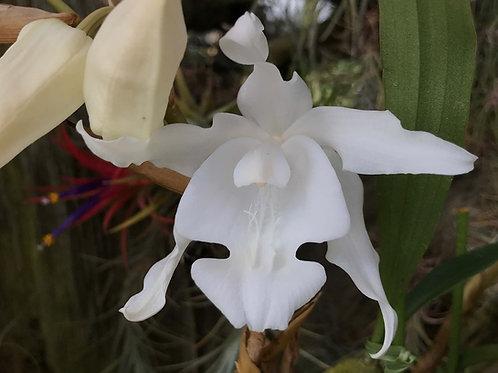セロジネ クリスタータ アルバ'ピュアホワイト'Coelogyne cristata fma alba`Pure White'