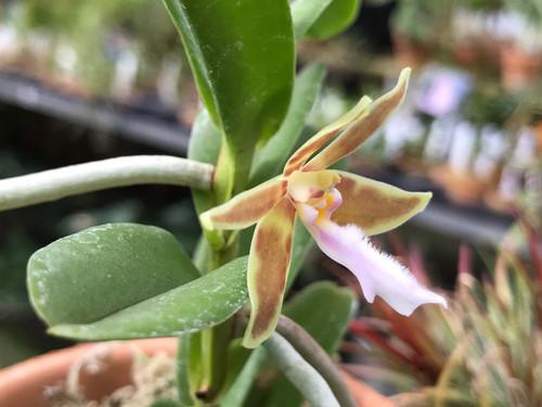 中藤洋蘭園-Nakato Orchids | 東京 洋ラン 洋らん コチョウラン Orchid ...