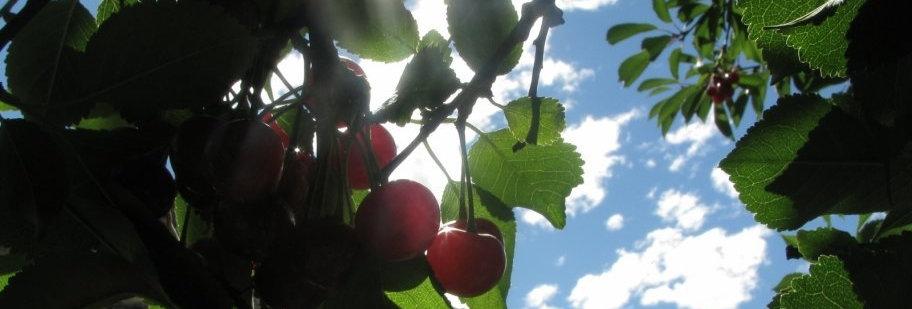 Cherry Tree Carol