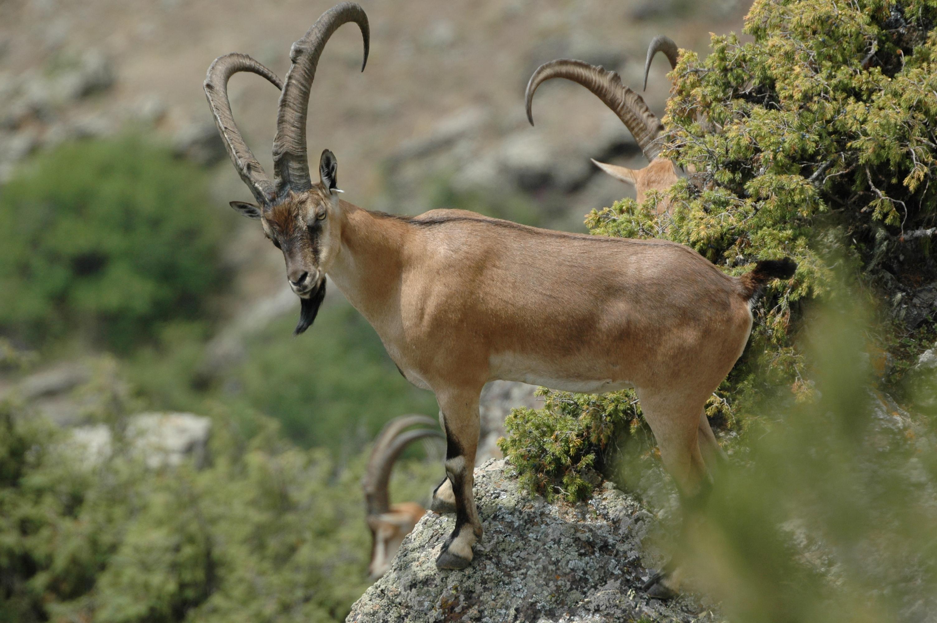 Armenia_Bezoar Goat 3