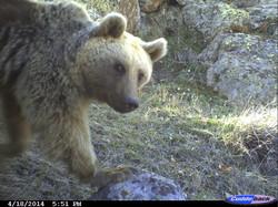 Armenia_Brown Bear
