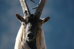 Armenia_Bezoar Goat 2