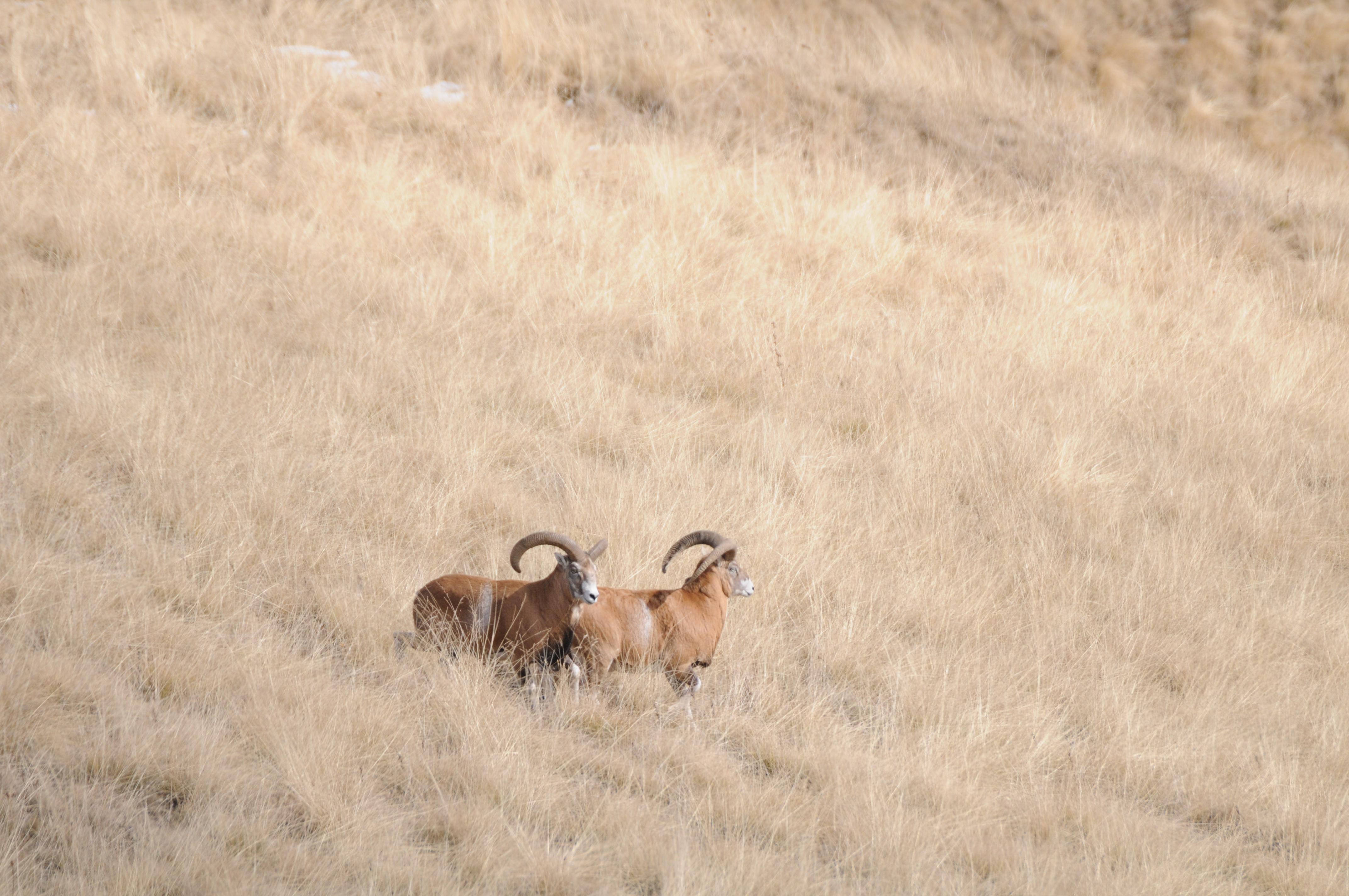 Armenia_Armenian Mouflon 3