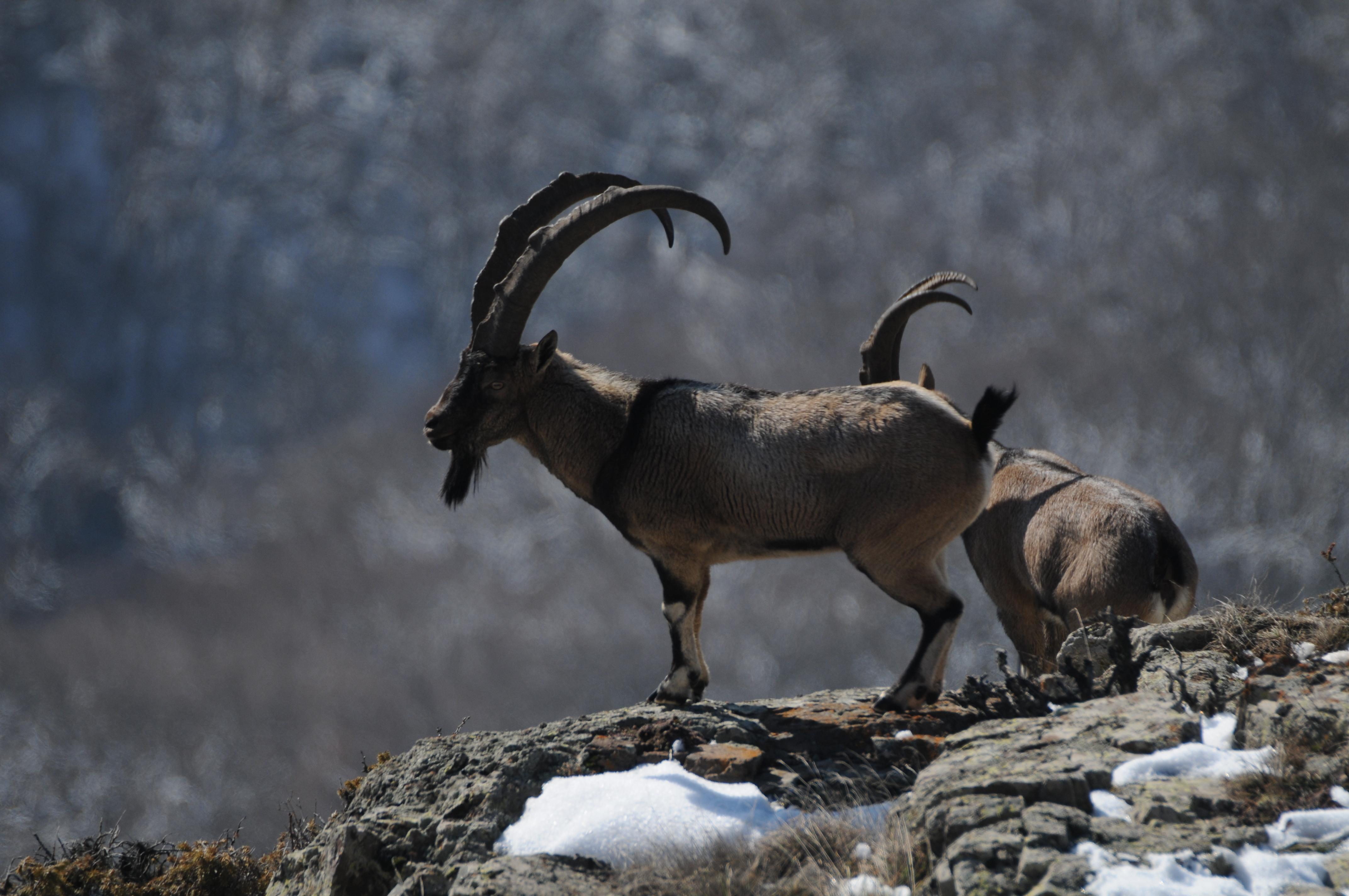 Armenia_Bezoar Goat 5