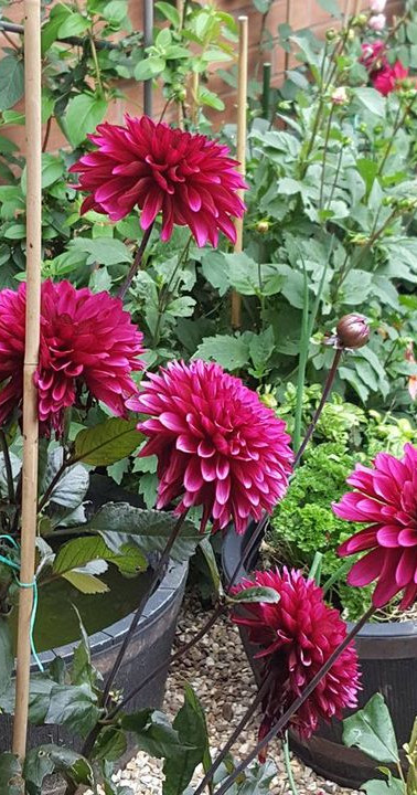 Purple Flame Dahlias