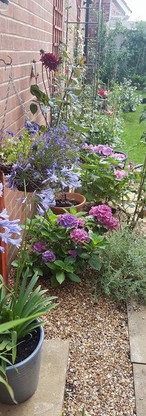 Gravel garden with lavender and agapanthus