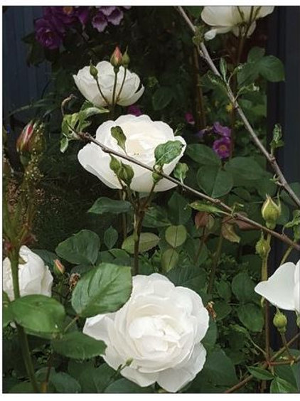 Desdemona rose notecard  13.9 x 10.7 cm Folded
