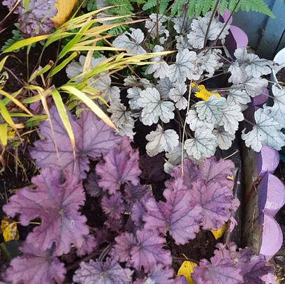 No winter blues in my garden!