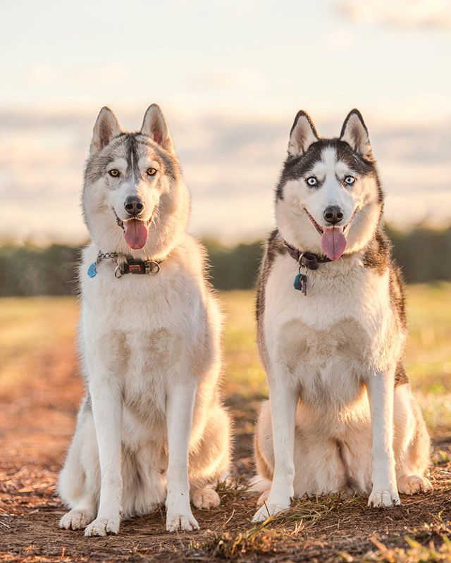 These cuties ❤️_🐶- _storm_and_odin ._