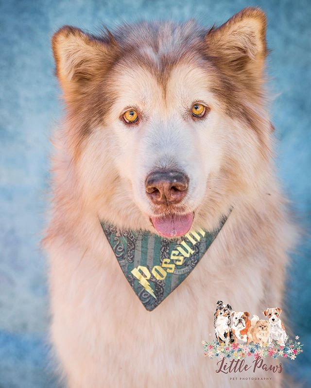 • Possum the Malamute •_This precious gi