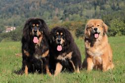 élevage_dogues_du_tibet_domaine_de_tou