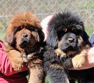 bébés_dogues_du_tibet_domaine_de_tou