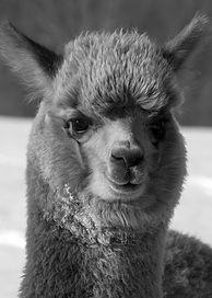 #23 alpaca.jpg