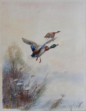 WILLIAM POWELL | Mallards taking Flight