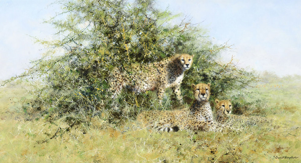 Cheetahs in Thorn Bush