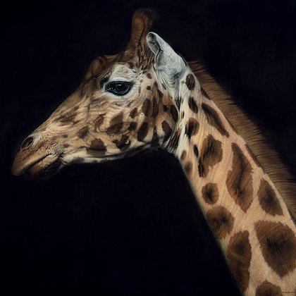 GARY STINTON | Rothschild's Giraffe - Large as Life III