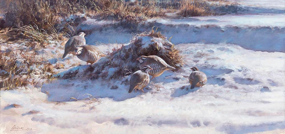 Covey of Red-Legged Partridges in the Snow