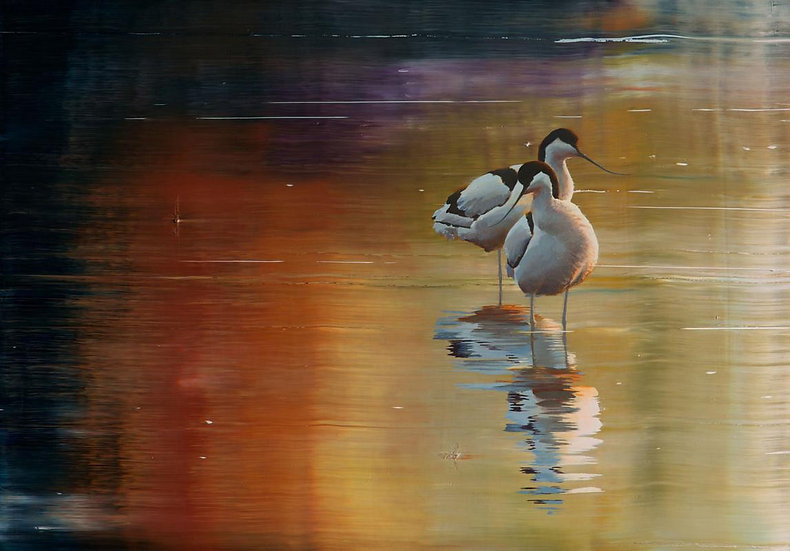 Avocets dancing on the lake