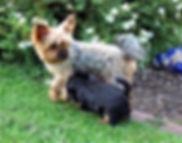 Yorkshire Terrier Gina vom MartinHof Gabw