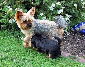 Yorkshire Terrier Gina vom MartinsHof Gabw