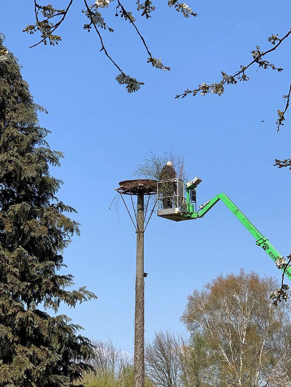 MartinsHof Kümmernitztal: Auch Zweige, Gehölz und weiße Frabe gehören zum Horstaufbau für ein Storchenpaar.