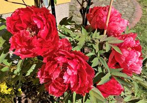 Baumpäonien in rot auf dem MartinsHof in Kümmernitztal.