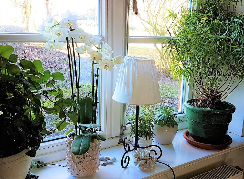 Blühende Orchidee seit mehr als 3 Monaten