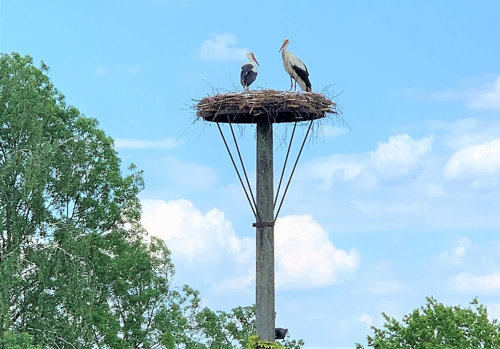 MartinsHof 19.05.2019: Storchenpaar auf dem neuen Horst in Grabow.