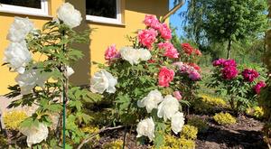Baumpäonien blühen in diesem Jahr besonder schön auf dem MartinsHof in Kümmernitztal.