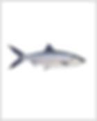 Milkfish.png