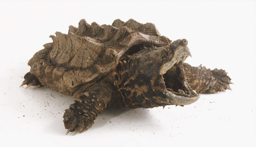 alligator snapping turtle from PlusPNG.com