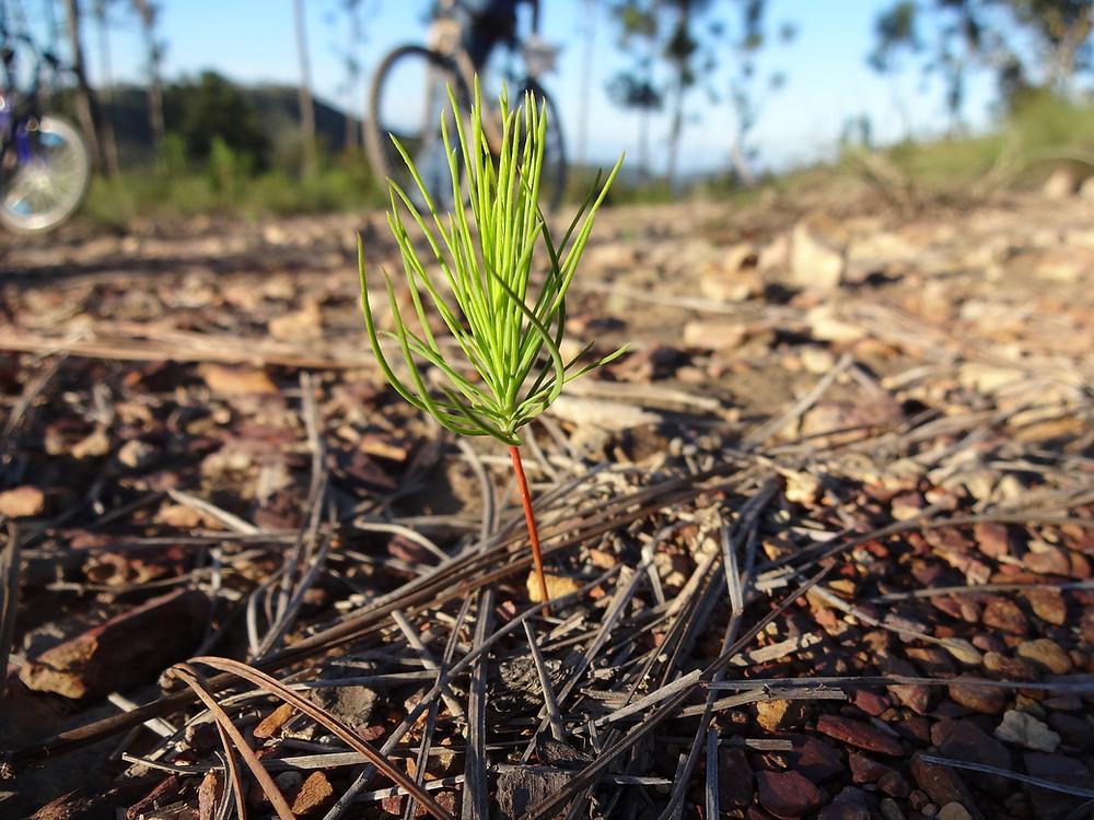 pine sapling by nic76