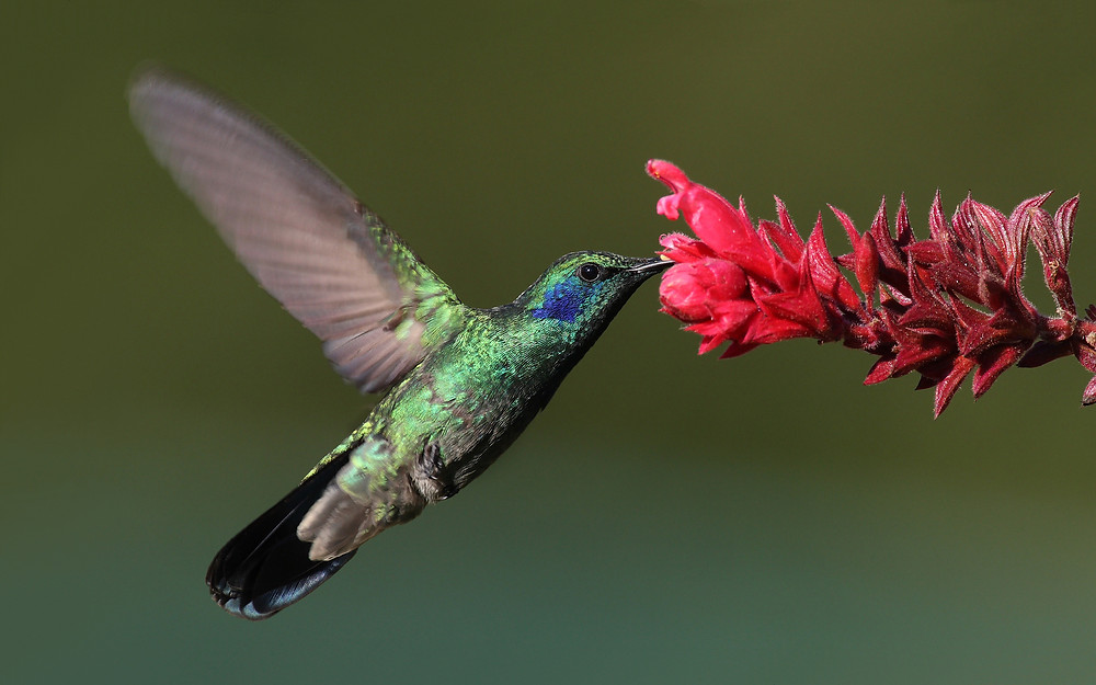 Hummingbird-Colibri-thalassinus by Wikipedia
