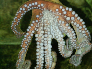 Octopus-James Bond of Nature