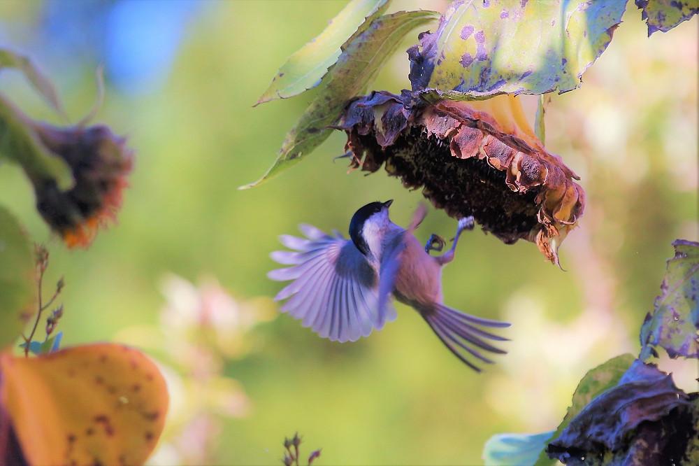 bird and sunflower by Schanin