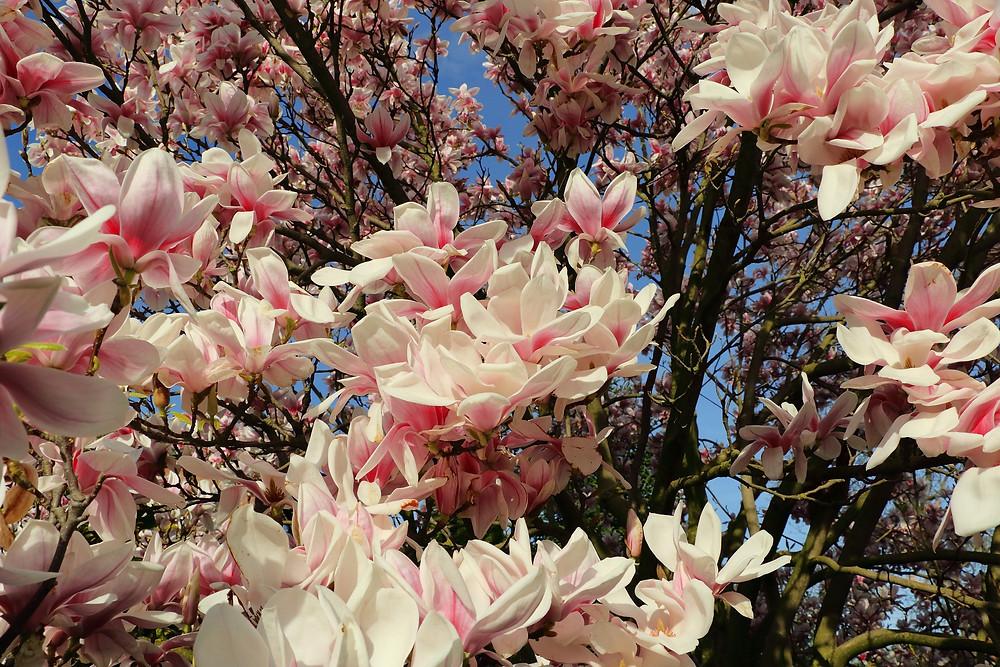 Magnolia tree blossom by